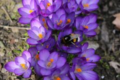 Spring. Bumblebee in violet crocuses collects nectar stock image