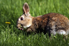 Spring Bunny. Closeup of a wild Rabbit eating grass shoots Royalty Free Stock Photo