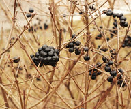 Spring bush with black wolf berries Royalty Free Stock Photos