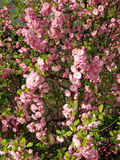 Spring bush with flowers. Spring bush completely strewn with pink flowers stock photos