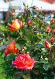 Spring bush of red rose flowers Stock Image