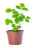 Spring bush of sapling sprout strawberry plant in plastic pot is Stock Photo