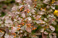 Spring bushes with leaves on which drops of rain Stock Photo