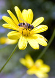 Spring busy bee Royalty Free Stock Image