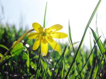 Spring buttercup flower. Close up of a spring buttercup flower Royalty Free Stock Image
