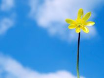 Spring buttercup flower Royalty Free Stock Image
