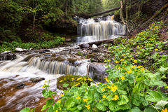 Spring Buttercups at Wagner Falls - Munising Michigan Royalty Free Stock Images