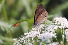 Spring butterfly on a flower. Spring butterfly sits on a flower. Republic Of Belarus, spring 2018 stock image