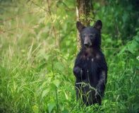 An american black bear stands and looks at the tourists at Great Smoky Mountains National Park Stock Photography