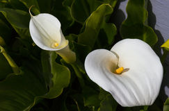 Spring Calla Lillies. Spring calla lilies in Manzanita Oregon Stock Photos