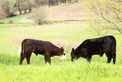 Spring Calves Stock Image