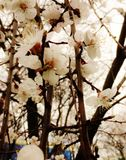 Spring came. Blooming apricot in the garden Royalty Free Stock Photo