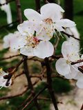 Spring came. Blooming apricot in the garden Royalty Free Stock Images