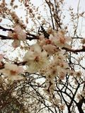 Spring came. Blooming apricot in the garden Royalty Free Stock Image