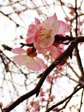 Spring came. Blooming apricot in the garden Stock Image