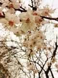 Spring came. Blooming apricot tree in the garden Stock Photography