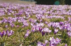 Crocuses in Chocholowska valley, Tatra Mountains, Poland. Spring Came to the Tatra Mountains As Crocuses Bloom in the Chocholowska Valley near Zakopane Stock Photo