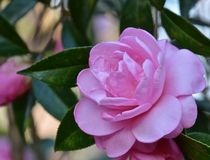 Spring camellia blooming. In the garden Stock Image