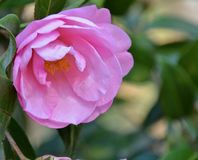 Spring camellia. In the garden Royalty Free Stock Photography