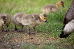 Spring Canada Goose Goslings. Young Canada Goose goslings in a field of green grass Stock Photography