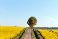 Spring Canola Stock Photography