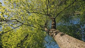 Spring canopy of tall tree. Deciduous forest, summer nature at sunny day. Upper branches of tree with fresh green. Foliage. Low Angle View. Looking Up Woods stock video
