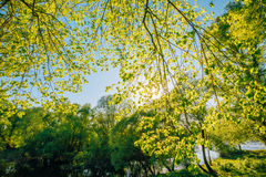 Spring Canopy Of Tree. Deciduous Forest, Summer Nature At Sunny Day Stock Photography