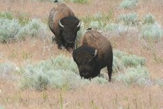 Bison Meandering Through Sagebrush Habitat. Spring capture of a pair of North American bison slowly meandering through sagebrush habitat in Antelope Island State Royalty Free Stock Photos