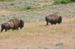 Bison Wandering Through A Sagebrush Prairie. Spring capture of a pair of North American bison, slowly wandering through a thick sagebrush prairie habitat in Stock Photo