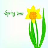 Spring card background with daffodil Royalty Free Stock Photography