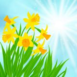 Spring card background with daffodils Royalty Free Stock Photos