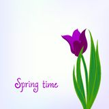 Spring card background with purple tulips Royalty Free Stock Image