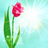 Spring card background with red tulip Royalty Free Stock Photography