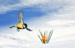 Spring card beautiful bird tit flies spreading its wings in the garden to the first flowers snowdrops yellow crocuses. Spring card beautiful bird tit flies royalty free stock photos