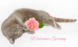 Spring card with cat and flower Royalty Free Stock Photography