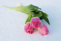 Spring card with tulips in the snow Stock Photos