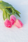 Spring card with tulips in the snow Royalty Free Stock Photos