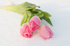 Spring card with tulips in the snow Stock Images