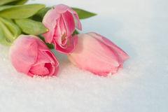 Spring card with tulips in the snow Stock Image