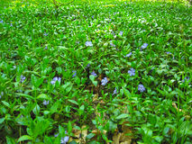 Spring carpet of blue flowers and plants Royalty Free Stock Image
