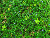 Spring carpet of blue flowers and plants Stock Photography
