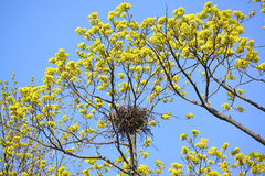 Spring. Carrion crows a nest on branches of the blossoming maple Royalty Free Stock Photos