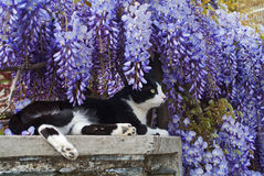 The spring and cat. A european cat sitting under wisteria flowers Royalty Free Stock Images