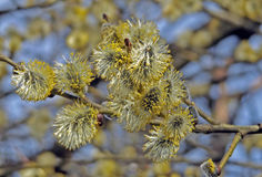 Spring catkin blooms. Catkin branch full with blooms royalty free stock photos
