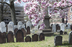 Spring in the Cemetery. Blooming Magnolia in an old cemetery Royalty Free Stock Images