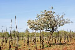 Spring in central Istria. Spring in Istria - vineyard with flowering fruit tree in the interior stock photos