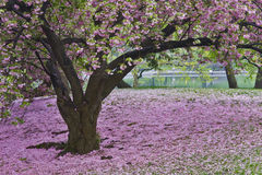 Spring in Central Park. Cherry blossoms cover the grass in Central Park in the early spring Stock Photography