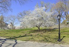 Spring in Central Park with flowering trees, Manhattan, New York Stock Photography