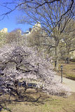Spring in Central Park with flowering trees, Manhattan, New York Royalty Free Stock Images