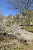 Spring in Central Park with flowering trees, Manhattan, New York Stock Photo